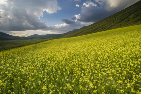 Flowering lentils and the Monte Sibillini Mountains, Umbria, Italy, Europe - RHPLF03881