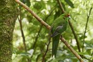 A friendly Red-crowned parakeet in thick bush near Otorohanga, Waikato region, North Island, New Zealand, Pacific - RHPLF04214