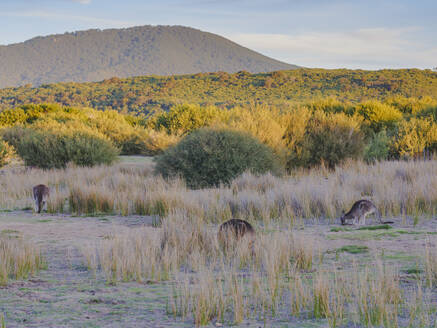 Wild kangaroos in the Wilsons Promontory National Park, Victoria, Australia, Pacific - RHPLF05423