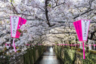 Meguro River during cherry blossom time, Tokyo, Japan, Asia - RHPLF06224