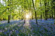 Bluebells cover a woodland floor during Spring in a small forest and catch the last rays of sun, Dorset, England, United Kingdom, Europe - RHPLF06299