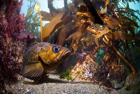 Lingcod (Ophiodon elongatus) laying on the sea bottom with kelp around, Monterey Bay, California, United States of America, North America - RHPLF06672