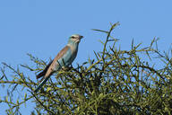A European roller (Coracias garrulus) perched on a tree, Tsavo, Kenya, East Africa, Africa - RHPLF06717