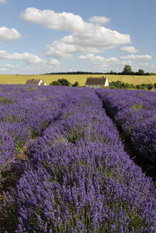 Cotswold Lavender, Snowshill, Cotswolds, Gloucestershire, England, United Kingdom, Europe - RHPLF06759