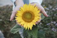 Close-up of sunflower in a hand - KMKF01053