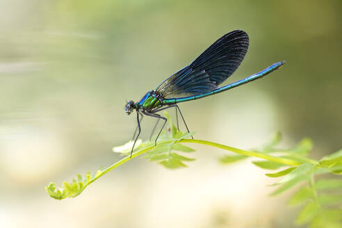 Close-up of beautiful demoiselle on plant, Corsica, France - ZCF00793