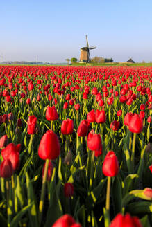 Fields of red tulips surround the typical windmill, Berkmeer, municipality of Koggenland, North Holland, The Netherlands, Europe - RHPLF07764