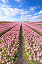 Blue sky on rows of pink tulips in bloom in the fields of Oude-Tonge, Goeree-Overflakkee, South Holland, The Netherlands, Europe - RHPLF07815