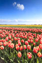 Multicolored tulips in the fields of Oude-Tonge during spring bloom, Oude-Tonge, Goeree-Overflakkee, South Holland, The Netherlands, Europe - RHPLF07821