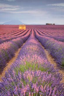 House in a lavender field at sunset, Plateau de Valensole, Alpes-de-Haute-Provence, Provence-Alpes-Cote d'Azur, France, Europe - RHPLF08163