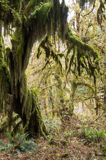 Hall of Mosses rainforest, Olympic National Park, UNESCO World Heritage Site, Washington State, United States of America, North America - RHPLF08343
