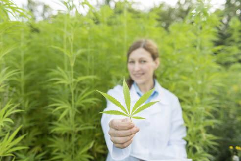Scientist holding hemp leaf in a hemp plantation - AHSF00767