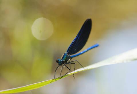Close-up of blue-winged demoiselle on leaf, Nature Reserve Isarauen, Bavaria, Germany - SIEF08966