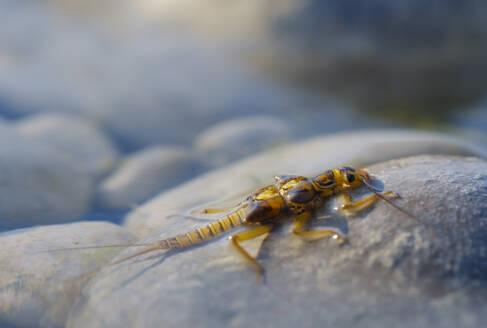 Larve einer Steinfliege (Plecoptera) auf Stein in Isar, Bayern, Deutschland - SIEF08969
