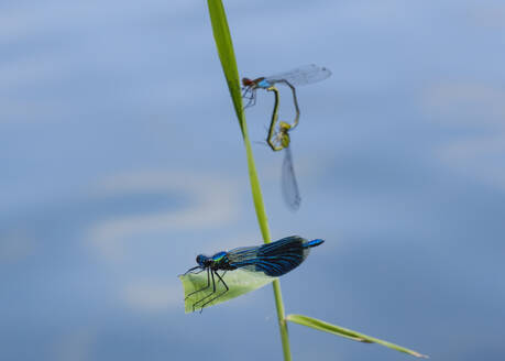 Close-up of damselflies on plant at Nature Reserve Isarauen, Bavaria, Germany - SIEF08972
