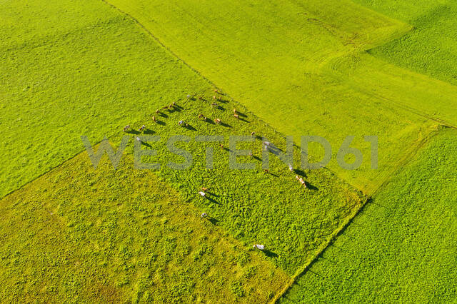 Aerial view of cows at pasture, near Königsdorf, Tölzer Land, Upper Bavaria, Bavaria, Germany - SIEF08994 - Martin Siepmann/Westend61