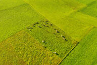 Aerial view of cows at pasture, near Königsdorf, Tölzer Land, Upper Bavaria, Bavaria, Germany - SIEF08994