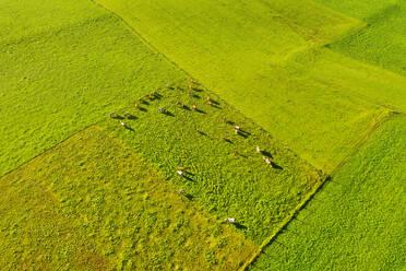 Aerial view of cows at pasture, near Königsdorf, Tölzer Land, Upper Bavaria, Bavaria, Germany - SIEF08994