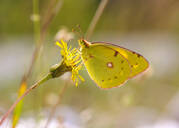 Close-up of yellow butterfly pollinating on flower, Mittenwald, Upper Bavaria, Bavaria, Germany - SIEF09009