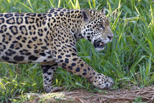Young Jaguar (Panthera onca) on a riverbank, Cuiaba river, Pantanal, Mato Grosso, Brazil, South America - RHPLF08713