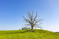 Dead tree on grassy land against clear blue sky during sunny day, Harmating, Germany - LHF00692