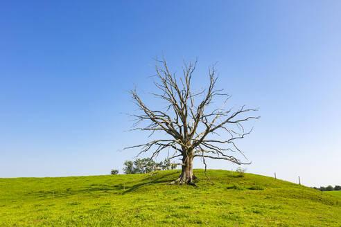 abgestorbener Baum, Harmating bei Egling, Oberbayern, Bayern, Deutschland - LHF00692