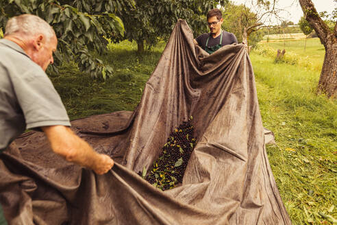 Two men during cherry harvest in orchard, collecting cherries in tarpaulin - SEBF00173