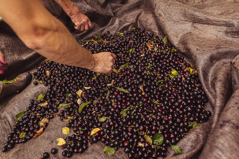 Close-up of two men during cherry harvest in orchard, sorting harvested cherries - SEBF00176