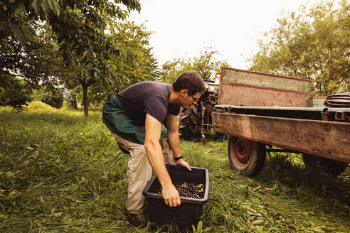 Man putting a box with cherries on trailer during harvest in orchard - SEBF00185