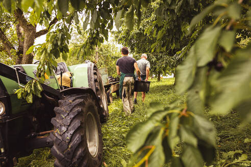 Two men carrying a box with cherries during harvest in orchard - SEBF00188