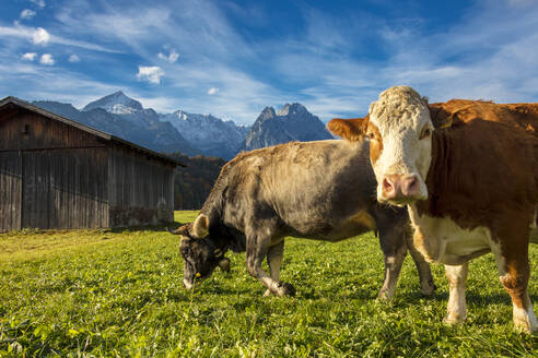 Cows in the green pastures framed by the high peaks of the Alps, Garmisch Partenkirchen, Upper Bavaria, Germany, Europe - RHPLF08832