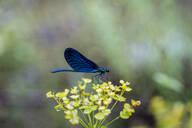 Blue dragonfly on a blossom, Strandja Mountains, Bulgaria - AFVF03912