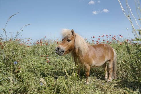 Pony in sunny rural field with poppy wildflowers - FSIF04453