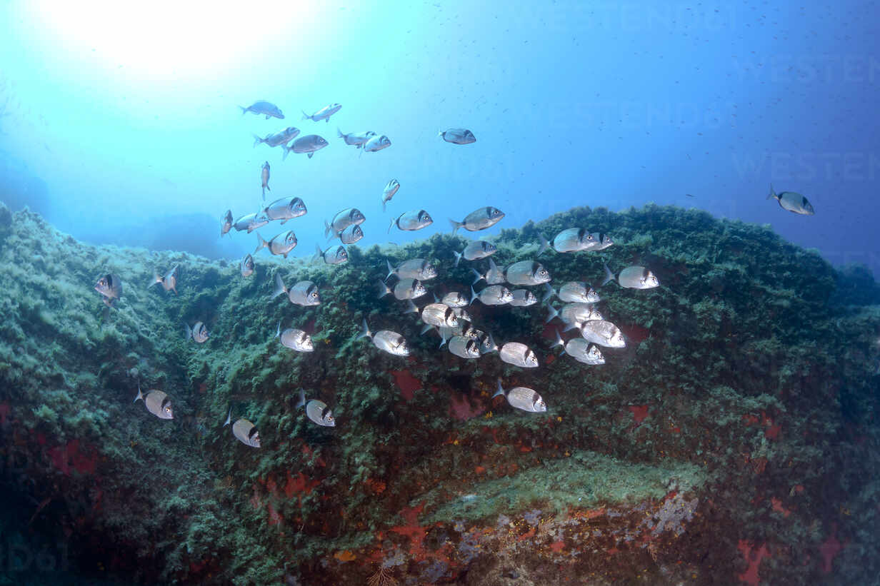 School of common breams swimming in sea, Calvi, Corsica, France - ZCF00805 - Christian Zappel/Westend61