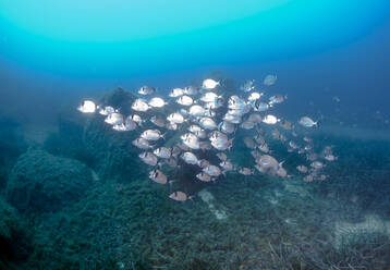 School of fish common bream swimming in sea, Calvi, Corsica, France - ZCF00808