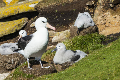 Colony of black-browed albatross (Thalassarche melanophris), Saunders Island, Falklands, South America - RHPLF09031
