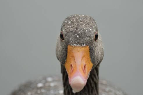 Greylag goose (Anser anser), United Kingdom, Europe - RHPLF09046