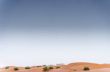 Camels walking in the dunes of the desert of Morocco - OCMF00724