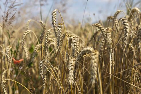 Wheat field - SEBF00199