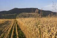 Wheat field in the evening - SEBF00202