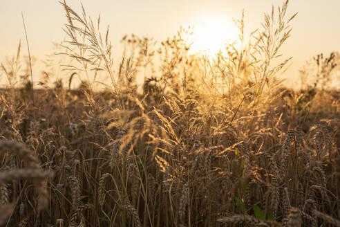 Wheat field in the evening - SEBF00205