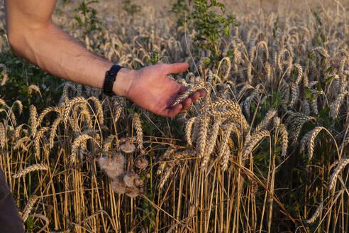 Organic farmer checking harvestability - SEBF00208