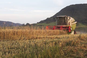 Organic farming, wheat field, harvest, combine harvester in the evening - SEBF00220