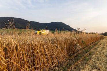 Organic farming, wheat field, harvest, combine harvester in the evening - SEBF00226