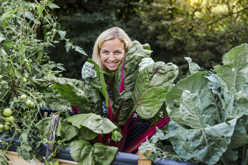 Blond woman harvesting mangold from her raised bed in her own garden - HMEF00508
