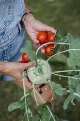 Blond woman harvesting tomatoes and kohlrabi - HMEF00532