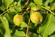 Close-up of walnuts growing on tree - NDF00977
