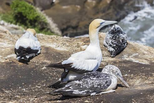 Close-up of bobbies perching on rock at Murawai Beach, New Zealand - FOF10918