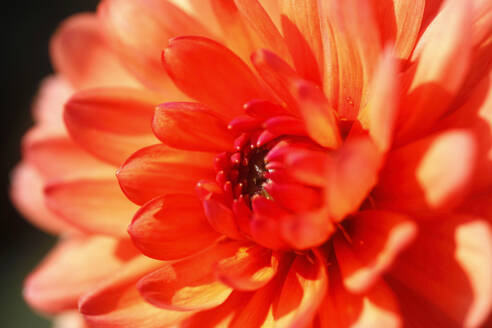 Extreme close-up of orange dahlia - JTF01331