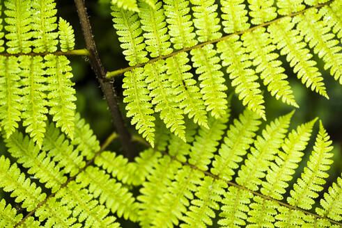 Close up detail of a fern in the rainforest in Arenal Volcano National Park, Alajuela Province, Costa Rica, Central America - RHPLF10368